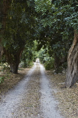 Italy, Sicily, countryside, .carob trees