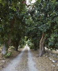 Italy, Sicily, countryside, carob trees