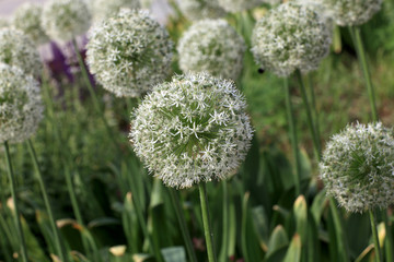 Allium ornamental onion flowers