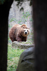 Brown bear from a cave