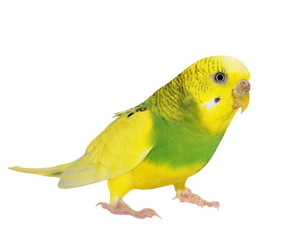 budgerigar isolated on white, budgie, (Melopsittacus undulatus)