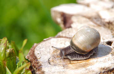 Snail on a tree stump