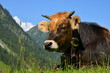 Kuh, Berge, Weide