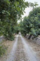 Italy, Sicily, countryside, carob trees and sicilian stone walls