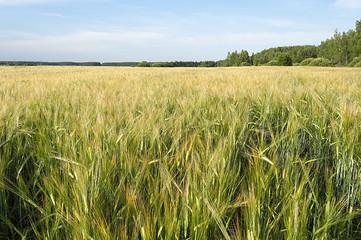 Green field of rye