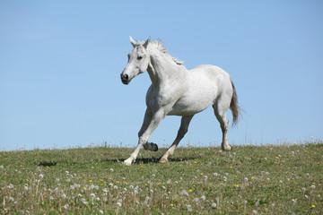 Nice white horse running on pasturage