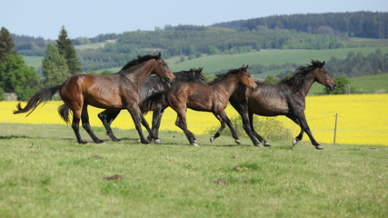 Brown horses running in group