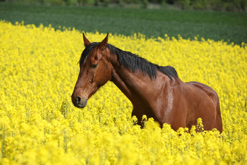Amazing brown horse running in colza field