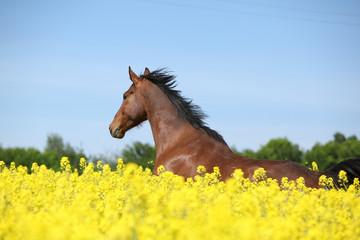 Beautifull brown horse running in yellow flowers