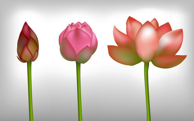 Lotus realistic flowers, vector