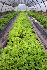 Perspective view of a greenhouse planted with salad