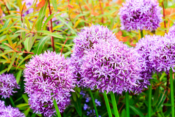 Purple alium onion flower