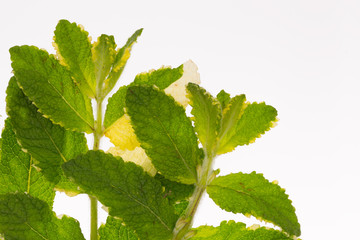 mottled green mint