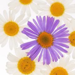 white and purple daisies