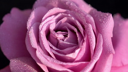 Pink Rose in Dewdrops