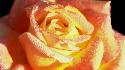 Orange Rose in Dewdrops