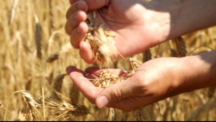Man hands analyzing some wheat