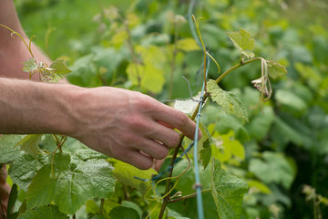 Tying vine branches
