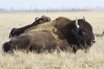 male North American bison that lies in the autumn steppe