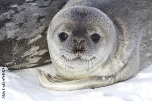 Aluminium Antarctica little pup Weddell seals which lies near the female