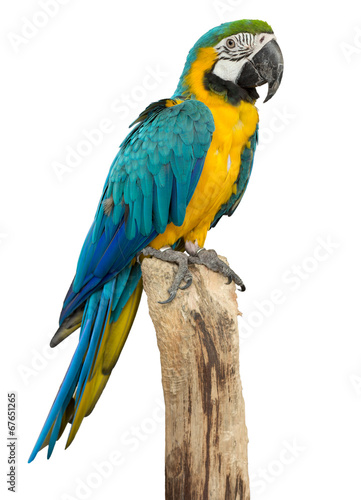 Foto op Canvas Vogel Beautyful macaw bird isolated on white background, clipping path
