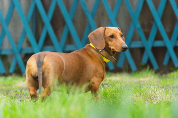 dachshund dog on the grass in the summer
