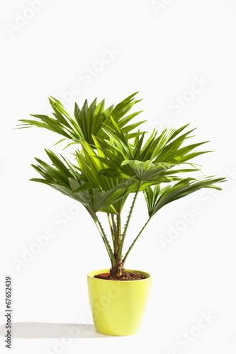 Plexiglas Palm boom Palmblätter, Palme, Livistona rotundifolia
