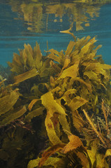 Shallow water forest of brown kelp Ecklonia radiata near surface