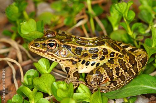 Fotobehang Kikker Northern Leopard Frog (Rana pipiens)