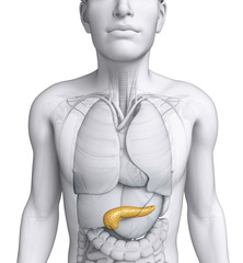 Male pancreas anatomy