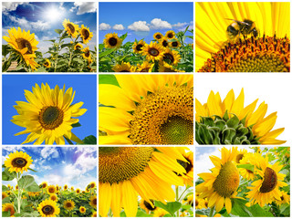 Collage: sun flowers :)