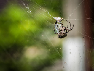 Cross spider eating his prey. Selective focus.