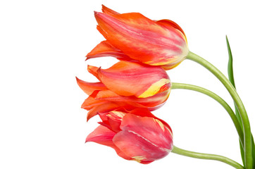 Three beautiful red tulips isolated on white background