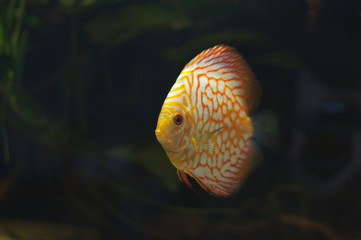 Aquarium fishes. Discus.