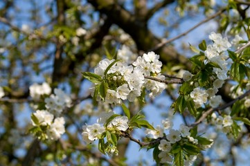 Blooming cherry tree makro