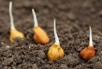 Chick-pea seedling in fertile soil