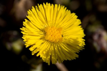 Makro blooming coltsfoot