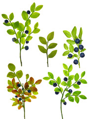 set of five blueberry branches isolated on white