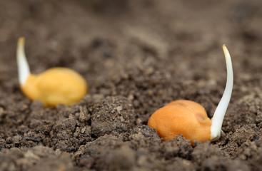 Chick-pea seedling in fertile soil