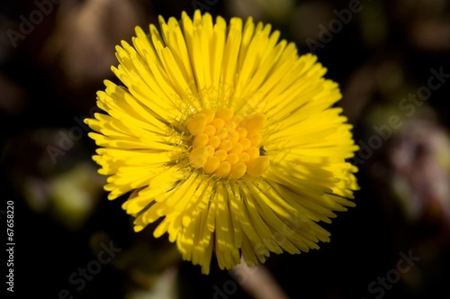 canvas print picture Makro blooming coltsfoot