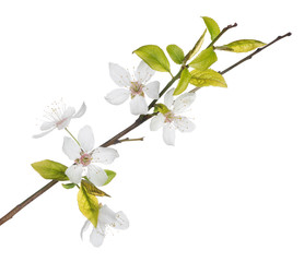 five white flowers on spring tree branch