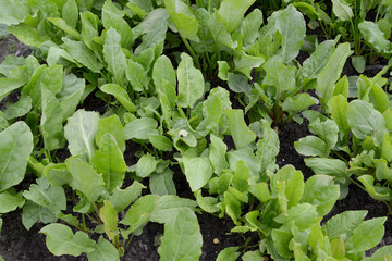 Sorrel sour, growing on a bed