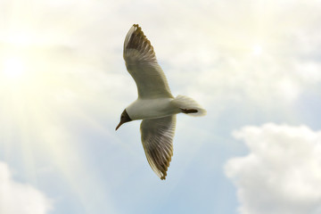 black-headed gull under bright sun