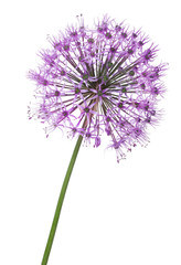 spherical large violet flower isolated on white