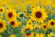 Leinwanddruck Bild - Sunflower field