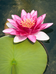 pink Nymphaea