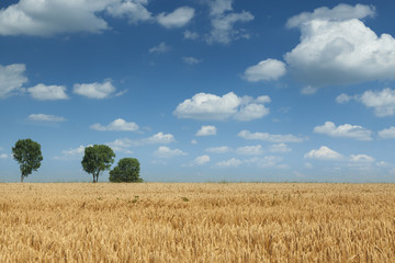Wheat field during summer