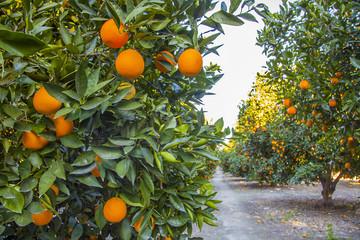 Orangenplantage in Kalifornien
