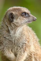 alert meerkat 8276