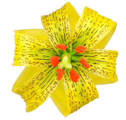 Yellow Asiatic lily with Black Spots Isolated on White